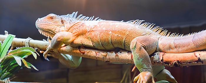 iaap-lizard-brain